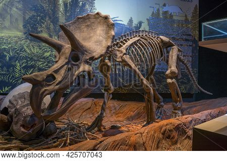 Lampang, Thailand - Feb 24, 2021: Fossil And Statue Of Triceratops,  At Lampang Fossil Geology And N