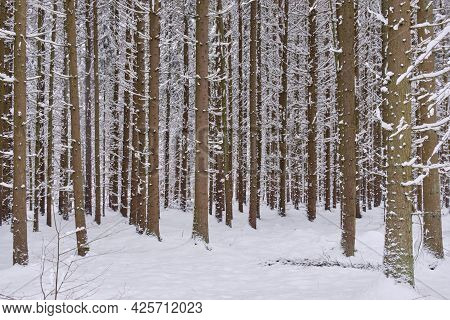 Wintertime Landscape Of Snowy Coniferous Tree Stand With Spruce Trees In Foreground, Bialowieza Fore