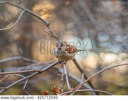 Sparrow Sitting On A Branch With A Yellow Autumn Background. Sparrow, Passer Domesticus, Perching On