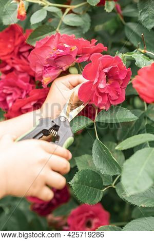 Childrens Hands With Scissors To Care For The Garden Cut The Rose Bush. Blossoming Gardens And Carin