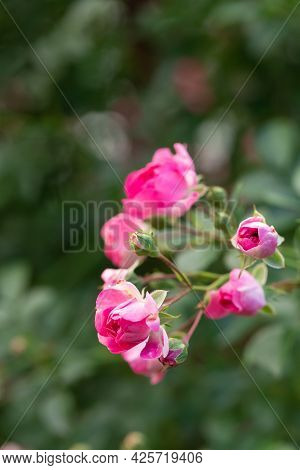 A Branch With Open Buds Of Pink Bush. The Background Of Nature Is Foliage And Shoots. Gardening And