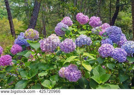 Colorful Hydrangea Flowers - Hydrangea Macrophylla - In Park On Summer Day