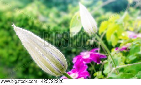 Pink Clematis Bud In Garden. Closep Flora. Growth Flower, Start Blooming