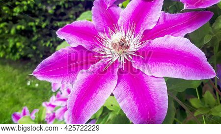 Closeup Pink Clematis In Garden. Fully Blooming, Beauty In Nature. Flowers Of Perennial Clematis Vin