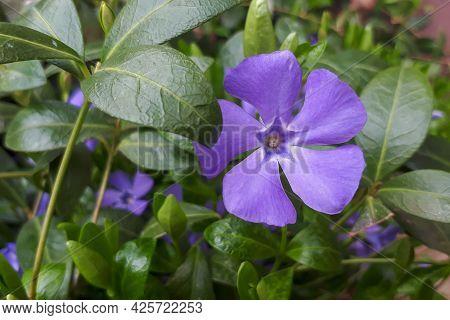 Purple Flowers Of Periwinkle (vinca Minor) In Garden. Lesser Periwinkle, Dwarf Periwinkle, Small Per