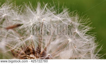 Macro Of Dandelion On Natural Green Background, Nature Closeup. Spring Summer Background