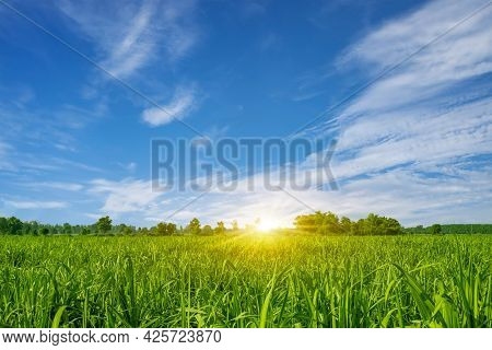 Sugarcane Farming At Sunset Sugarcane Is A Grass In The Poaceae Family, Sweet And Rural Sugarcane Fo