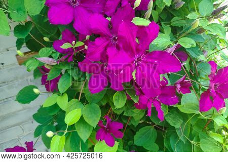 Flowers Of Perennial Clematis Vines In The Garden. Beautiful Clematis Flowers Near The House.