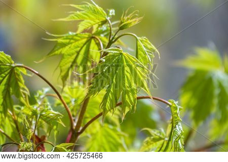 Blooming Norway Maple, Acer Platanoides, In Beautiful Light. Spring Season Background, Spring Colors