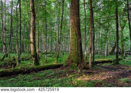 Old Oak Trees In Morning Mist In Summer, Bialowieza Forest, Poland, Europe