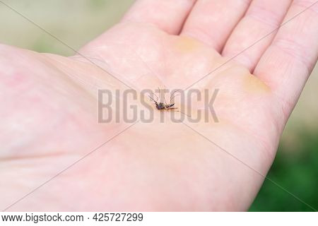 A Dead Mosquito Is Lying On A Person's Arm. A Blood-sucking Insect