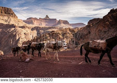 Grand Canyon National Park, United States: March 7, 2021: Single White Mule Between Brown Mules In A