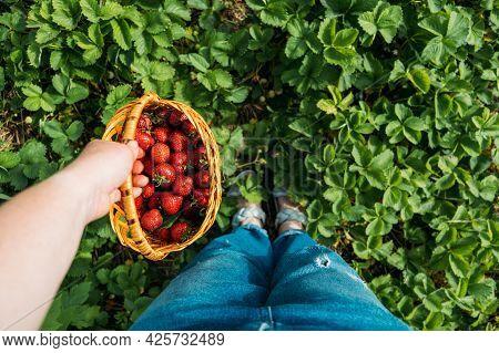 Strawberry Field On Fruit Farm. Fresh Ripe Organic Strawberry In Basket. Harvesting On Strawberry Fa