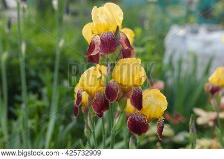 Yellow-brown Iris Grows On The Street. Garden Flowers