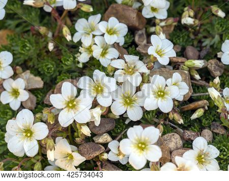 White Mossy Saxifrage Flowers In A Rockery