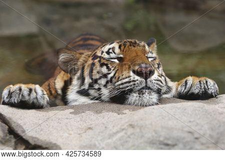 Wild Animal Tiger In The Nature Habitat. Wildlife Scene With Danger Animal Tiger.