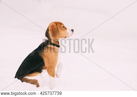 Puppy Of English Beagle Sitting In Snow At Winter Day. Beagle Is A Breed Of Small Hound.