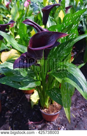 Beautiful Calla, Calla Lilies Flowers And Green Leaves On The Pot In Natural Daylightlight Backgroun