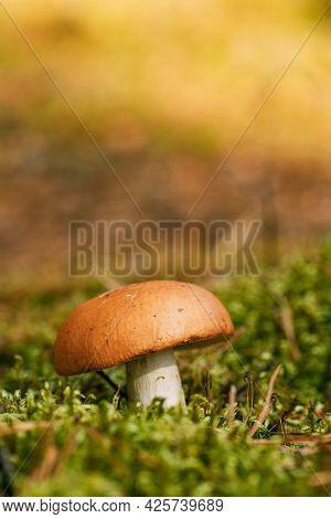 Boletus Edulis Bull In Autumn Forest In Belarus. Mushroom In Sunset Autumn Forest In Belarus.