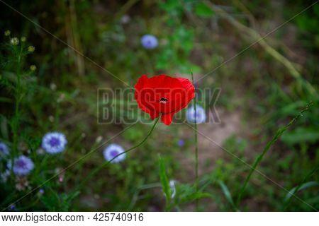 Scarlet Poppy Flowers In Spring Or Summer