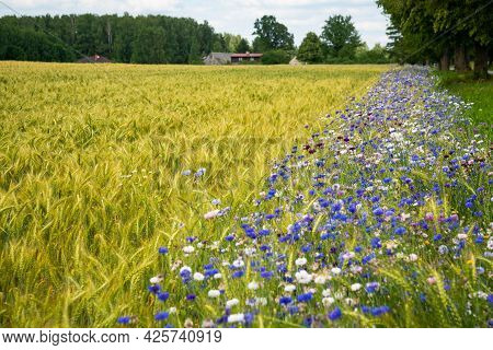 Beautiful Summer Landscape With A Rye Field Next To Which There Is A Flower Line With Blue Cornflowe