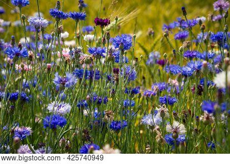 Blue Flowers Cornflowers In The Garden. Cornflower In The Flowerbed. Summer Blue Wildflower. Cornflo