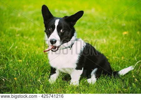 Funny Cardigan Welsh Corgi Dog Playing In Green Summer Meadow Grass. Welsh Corgi Is A Small Type Of