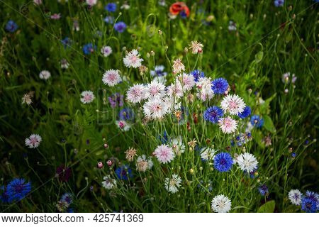 Beautiful Landscape With Summer Flowers, White Flowers And Blue Cornflowers. Top View