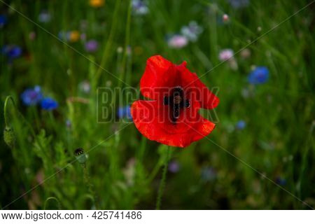 Red Flowers Of Great Scarlet Poppy. Blurred Background