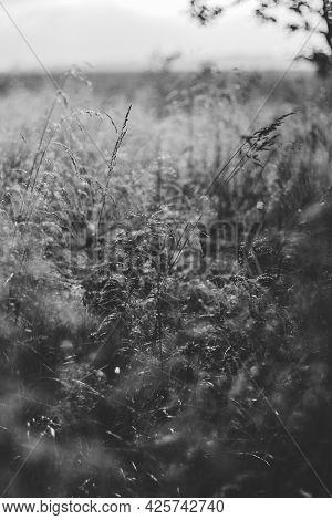Monochrome .close-up Grass Stalks Lit By The Golden Evening Sun At Sunset.