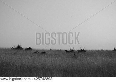 Monochrome. Silhouettes Of Sheep Grazing In A Meadow.