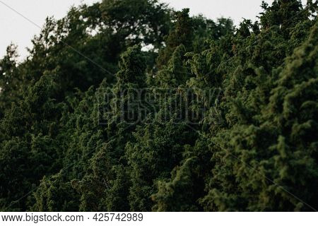 Green Forest, Lush With Coniferous Foliage And Shrub Texture In Summer Nature