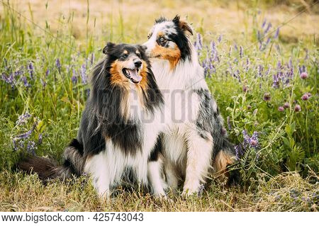 Australian Shepherd Dog And Tricolor Rough Collie, Funny Scottish Collie, Long-haired Collie, Englis