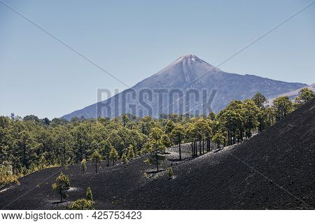 Forest Of Pine Trees Growing In Volcanic Landscape Against El Teide Volcano In Tenerife. Canary Isla