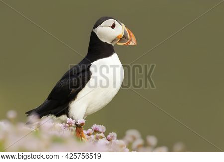 Close Up Of Atlantic Puffin In Pink Sea Thrift Flowers On A Coastal Area Of Scotland, Uk.