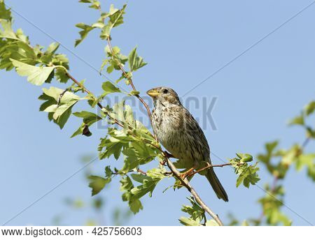 Close Up Of A Corn Bunting Perched In A Tree, Bulgaria.