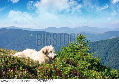Carpathian Shepherd Dog. Good Old Friend Take A Rest. Pet In Nature. Distant Mountain Scenery In Mor