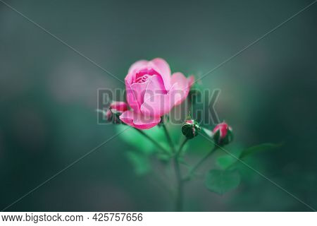 A Delicate Pink Rose Flower Bloomed On A Stem With Young Buds And Green Leaves In A Dark Garden. Rom