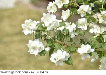 White Flowers Of The Chubushnik Lat. Philadélphus Is A Genus Of Shrubs In The Hydrangea Family Hydra