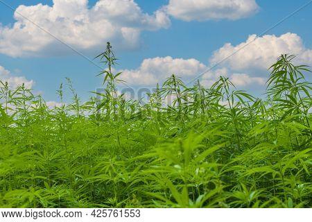Marijuana Cbd Hemp Plants Field. A Lot Of Hemp Growing On A Hemp Farm.