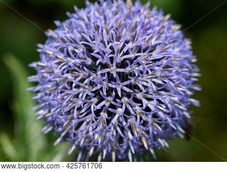 Purple Allium Flower In Summer Cottage Garden.