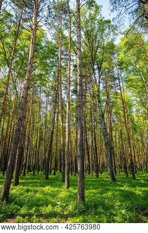 Summer Spruce Forest Landscape In Siberia, Russia