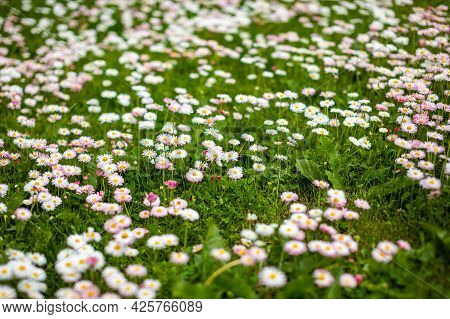 Spring Field Of White And Pink Daisies As Background