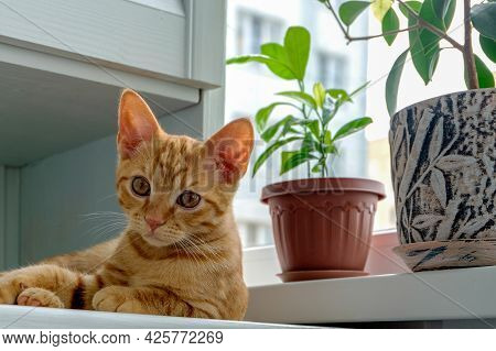 A Ginger Tabby Kitten Lies On The Windowsill Next To Plants In Flower Pots And Looks Into The Camera
