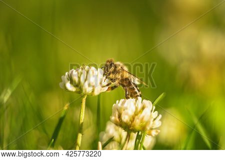 Bee Collecting Nectar From A Flower Of Cloverin