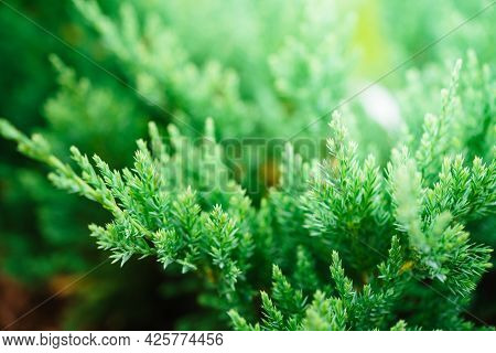 Nature Green Texture Background Of Juniper Tree. Evergreen Coniferous Juniper Green Branch Close Up.
