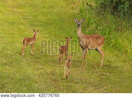 One Deer With Three Spotted Baby Fawns Standing In A Field With One Fawn Running Toward The Camera.
