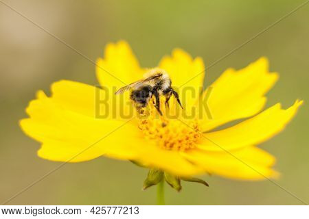 A Bee On A Yellow Flower Collects Nectar. Close-up On A Blurry Background With Copying Of Space, Usi