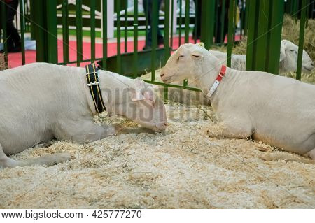 Portrait Of Two Cute White Sheep At Agricultural Animal Exhibition, Small Cattle Trade Show. Farming