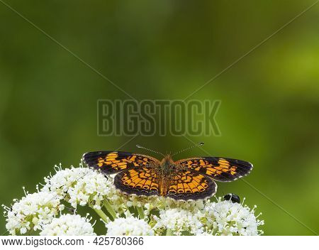 This Lone Pearl Crescent Butterfly Is Joined By Another Insect On Common Yarrow Flowers That Are Eve